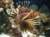 Pterois Volitans Posted on 20th Mar,2017  11:02:43 AM Average Rating=8.00
