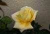 Rosa Posted on 28th Apr,2007  02:27:07 AM Average Rating=1.00